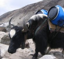 One of many yaks carrying supplies into basecamp