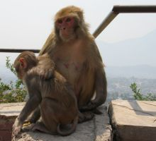 Monkeys near Monkey Temple